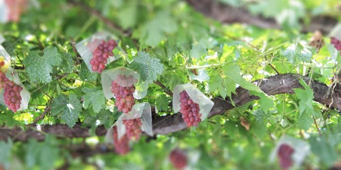 メルシャン、「片丘」をワインの銘醸地に