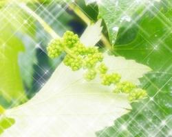 キリングループが葡萄の苗木増加に挑戦-日本ワイン生産量底上げを目指す