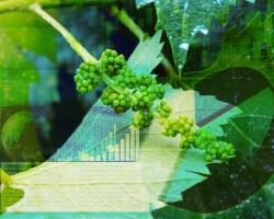 北海道、ワイン用葡萄苗木生産者の育成に乗り出す