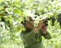 「いいちこ」の三和酒類、ワイン用葡萄畑を2倍に