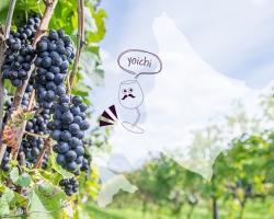 アサヒビール、北海道にワイン用農地取得
