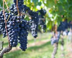 ワイン用葡萄栽培の市場を視野に-接ぎ木テープ『ニューメデール』