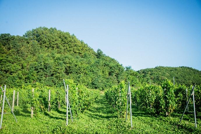 「ヴィンヤードに泊まる」がコンセプト!ワインツーリズムとグランピングを楽しめる『余市ヴィンヤードグランピング』オープン