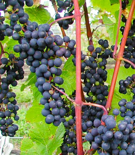 日本独自のワイン用葡萄品種「山幸」が国際ブドウ・ワイン機構にて品種登録へ