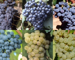 2021年からボルドーワインに新しい葡萄品種が導入!6品種が正式承認取得