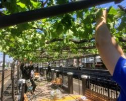 塩尻駅のホームで育つメルローとナイアガラ、2021年5月に誘引結束、芽欠き作業実施